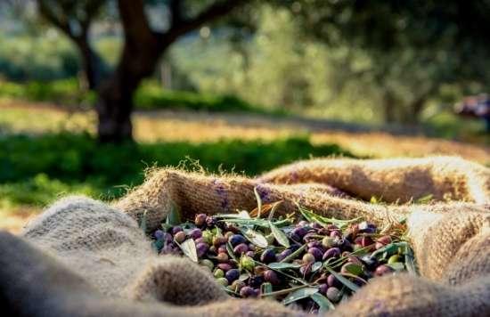 Handpicked Olives