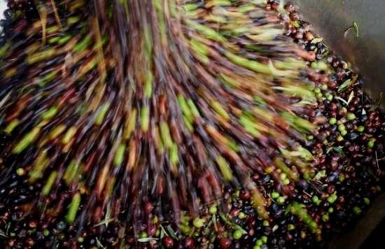 Olives Harvested